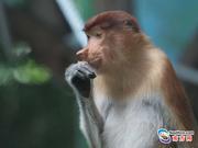 大鼻猴首次亮相广州长隆 国庆长假正式跟游客见面