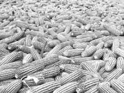 玉米期货:集团化交割助力农业供给侧改革