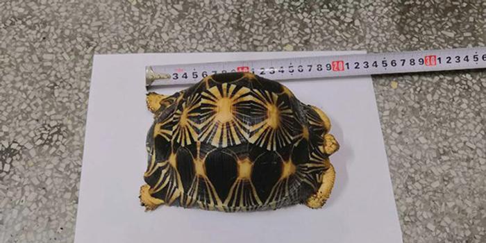 湖北快3_大学生网购濒危动物辐射陆龟当宠物 网上转卖被抓