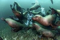 好奇海狮把潜水员当玩具 成群环绕强势围观
