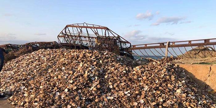 獐子岛员工:采捕方法对海底生态破坏 扇贝可能是呛死