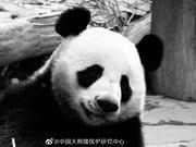 """旅泰19岁大熊猫""""创创""""离世 死亡原因有待调查"""