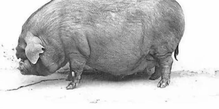 居住在南美洲的查科野猪因为生态环境的破坏,和家畜之间传播的疾病而