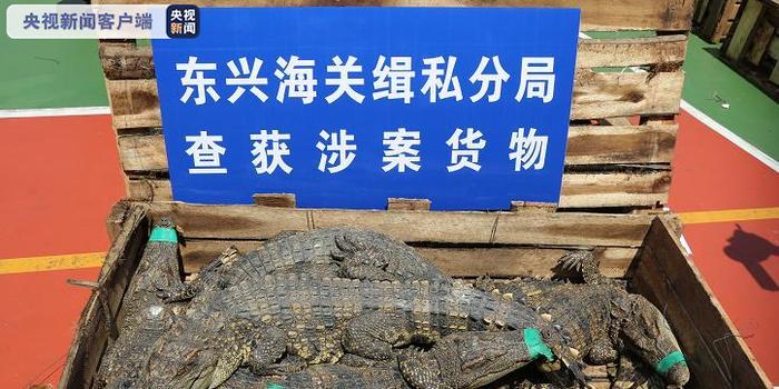 廣西東興:海關一次解救暹羅鱷806條