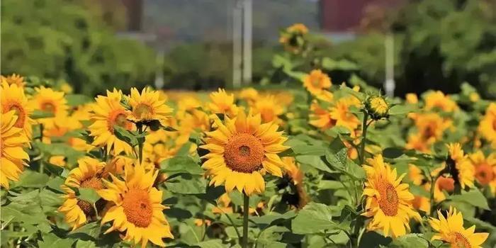 3030㎡ 网红 爆款 向日葵又来啦 4月底迎花期还设置了最佳拍照点