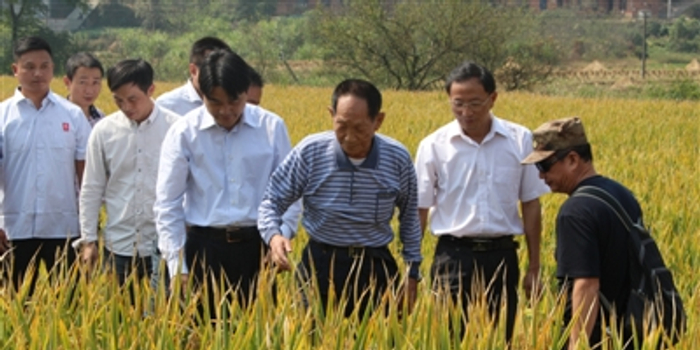"""袁隆平超级稻攻关 """"亩产1200公斤""""世界纪录"""