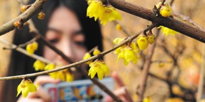 北京动物园内的蜡梅已逐渐开放,最佳观赏地点位于鬯春堂.