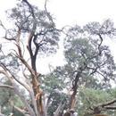 北京密雲3500歲古樹生機盎然 樹幹要9人才能環抱(圖)