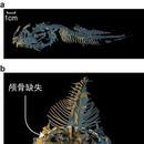 """突破深海7000米""""地獄禁區""""的獅子魚 有怎樣的身體結構?"""