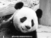 """泰国官员回应大熊猫""""创创""""之死:深表遗憾"""