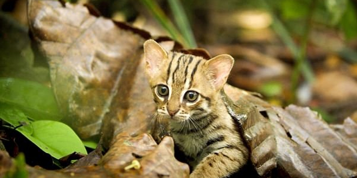 世界最小猫科动物锈斑豹猫成年后仅有手掌大