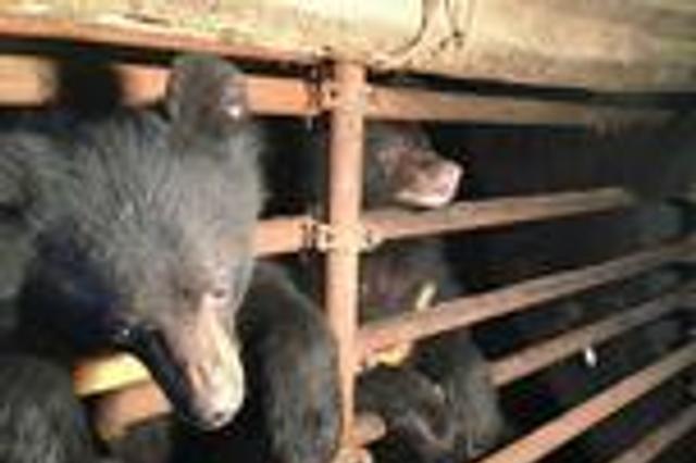 云南村民圈养3只黑熊吸引游客被森警抓获