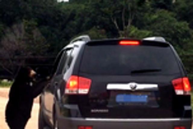八达岭野生动物园游客开窗投食 引来马来熊扒住窗口不放