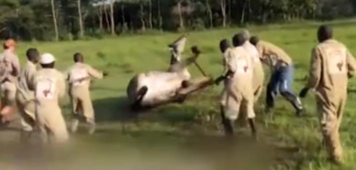 """长颈鹿很受伤!众人合力将其""""推倒"""""""