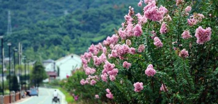 宁波北仑郭巨紫薇花开正好