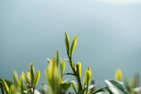 今年還能喝上龍井新茶嗎 杭州部分茶企正在抓緊復工
