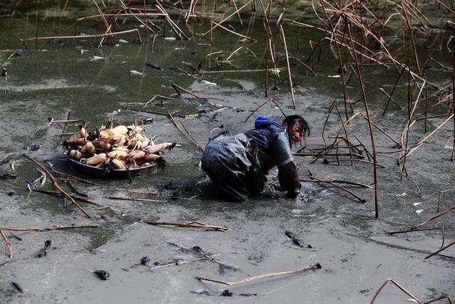 2011年,重庆市黔江区五里乡干妻河莲藕股份合作社建起莲藕种植基地,五里村40多岁的农妇曾仙成为基地的一名劳务工,春栽、夏管、冬挖,样样都干。6年来,曾仙从没离开过基地。寒冬时节,曾仙和男工一样穿着橡胶工作服,在结冰的藕田里用高压水枪挖藕。