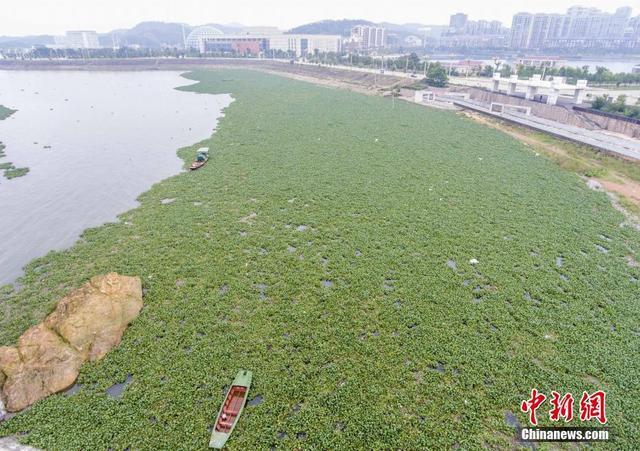 江西鄱阳湖水位暴涨水面扩张 都昌飘满水葫芦
