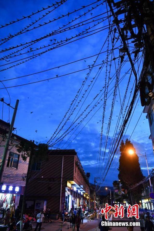 """8月11日,数万只燕子停驻在昆明一城中村内的电线上。当天傍晚,数以万计的燕子飞到昆明一城中村内,在一条长度不足500米的道路两旁的电线上停驻,叽叽喳喳就像在""""开会""""一般。据附近居民介绍,这一现象已经持续有5年左右,除了冬季,它们每天都会来到这里过夜,第二天又飞走各自觅食。 中新社记者 任东 摄"""