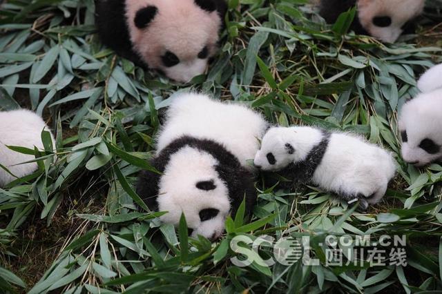 10月13日上午,中国大熊猫保护研究中心36只2017年新生熊猫宝宝分别在雅安碧峰峡基地、卧龙神树坪基地亮相。