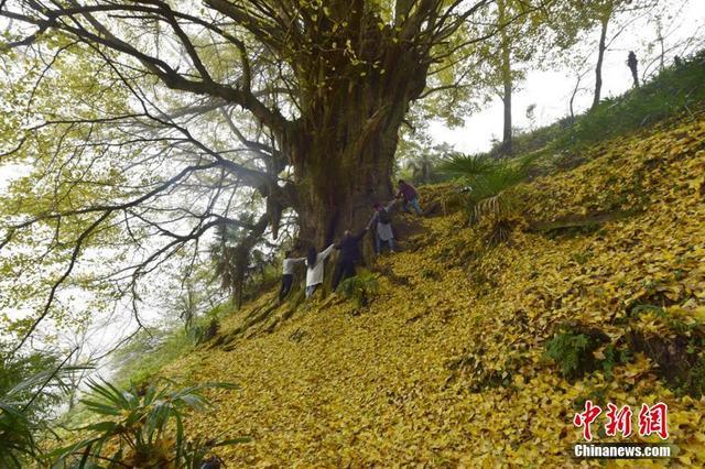 """""""太漂亮、太震撼了!从来没有见过这么大的银杏树……""""11月14日,四川省泸州市叙永县观兴镇普兴村1社山顶上的2200岁银杏树,满身尽戴""""黄金叶"""",树上、地下一片金黄,呈现出一幅梦幻的画卷,吸引了众多游客前往观赏拍照。""""早就听说这棵银杏树了,今天终于目睹了它的真容,特别开心!""""来自泸州的游客牟女士为了享受大自然的恩赐,感受天地之灵性,专门带了茶具,在树下沏茶品茗,享受大自然的美景。据介绍,这棵银杏古树胸径约5米,胸围约15米,要10多个人手拉手才抱得完。上世纪90年代,经四川省林科院专家考证并科学测算,该银杏已有2200岁。 苏忠国 摄"""