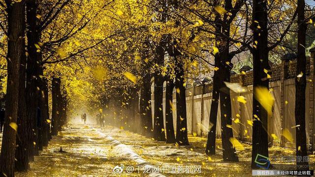 近日,北京市园林绿化局下发了《关于暂时保留秋冬落叶景观的通知》,除了公园主要道路落叶要进行必要的清扫外,林地草坪上的自然落叶尽最大可能保留,让市民感受深秋美景。据了解,下发保留秋冬落叶景观的通知,这在市园林绿化部门尚属首次。(赵熔摄)