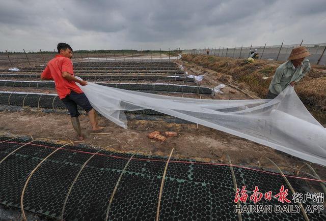2017年11月13日,文昌市冯坡镇凤尾村,农民铺设可降解地膜,种植冬季瓜菜。据了解,发展现代化农业,建设美丽乡村,让全村人都富起来。今年凤尾村成立了多个农业专业合作社,指导村民种植瓜菜的同时,也帮助村民销售瓜菜。合作社让香山村民小组的村民每年多了6万多元的土地租金,还有打工机会,且入股贫困户每年能分到2000多元的分红。海南日报记者袁琛摄