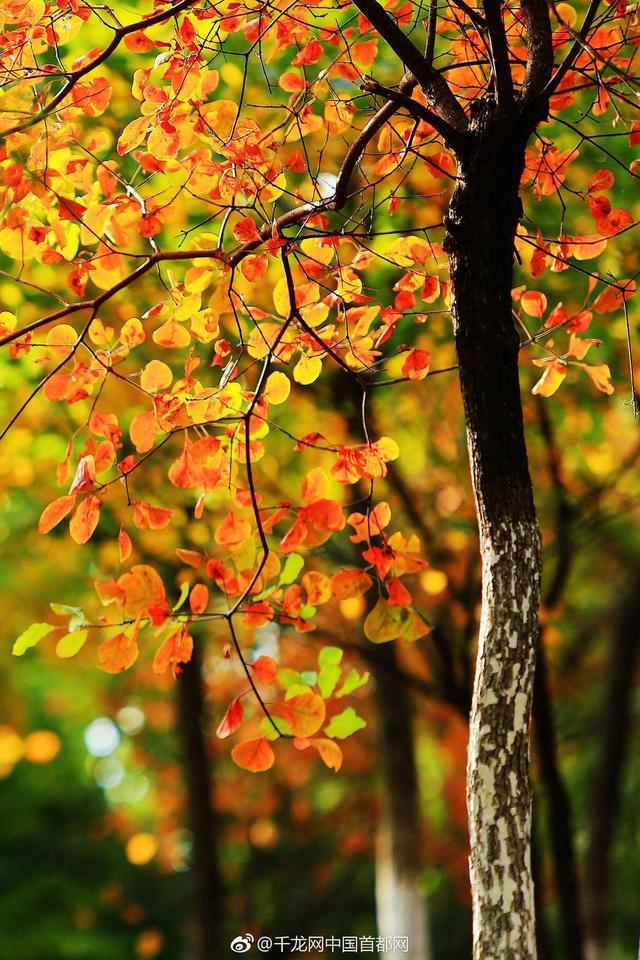 北京北宫国家森林公园是继香山之后京西离城区最近的彩叶观赏区和自然风景区。近日,北宫森林公园1800亩红叶满园,黄栌、火炬、元宝枫等彩叶树五颜六色地环抱着清澈见底的葫芦湖,仿佛一幅绚丽的水彩画。这个周末,约上小伙伴一起去观赏!(陈燕华摄)