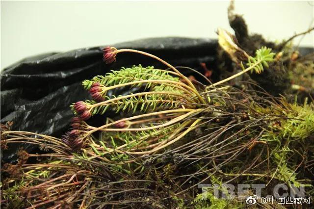 """近日,西藏自治区山南市雪布下边境检查站官兵查获珍稀药材野生红景天5.77公斤。据隆子县林业局局长桑布介绍:""""野生红景天属于珍稀药材,根据相关法律条例规定,任何人不能私自进行采挖。野生红景天不仅有极高的药用价值,对本地的生态环境还会起到一定的保护作用,这里生态环境较为脆弱,我们一直想尽办法避免人为破坏。"""""""