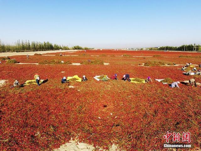 眼下正值丰收季节,新疆生产建设兵团第二师焉耆垦区各团场种植的17万亩辣椒进入采摘季。日前,在第二师二十一团航拍辣椒晾晒场面壮观,火红的辣椒犹如一张张红地毯铺展在广袤的戈壁滩上,成为秋季边疆的一道美景。据介绍,焉耆垦区是新疆辣椒的主产区之一,土地肥沃,光照时间长,种植的辣椒红色素高、色泽鲜艳、商品率高,质优价廉,深受国内外客商的青睐。晾晒好的辣椒大部分销往山东、陕西、河北、山西等地,辣椒产业已成为当地经济发展的龙头产业。何飞 摄
