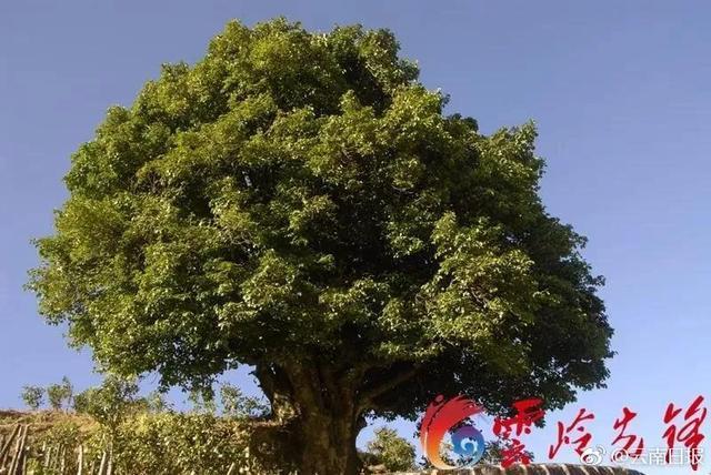 """云南临沧凤庆有一株""""锦秀茶王"""",推算树龄已经超过了3200年,比商纣王年长近100岁,比孔子年长近700岁,比秦始皇年长近1000岁……""""锦秀茶王""""是至今发现的世界上最古老的栽培型古茶树,经过了上海大世界基尼斯认证。"""