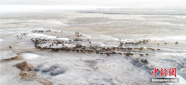1月10日,成群的马儿在甘肃山丹马场的草原上尽情奔跑,场面蔚为壮观。山丹马场地处甘肃河西走廊中部的祁连山下,是中国最大的养马基地。图为航拍山丹马场。王超 摄