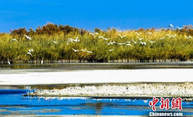金秋十月,戈壁绿洲甘肃敦煌市黄渠镇芭子场村以西约12公里的盐池湿地,湖边的芦苇随风飘摇,白鹭、大雁等野生珍禽在水中嬉戏、空中飞舞,场面壮观,景色美丽。据悉,这属于敦煌市南泉湿地自然保护区范围内,得益于近年来敦煌市加强湿地保护,改善生态环境,前往该地生存的野生珍禽越来越繁多,成为一道美丽的风景。 王斌银 摄