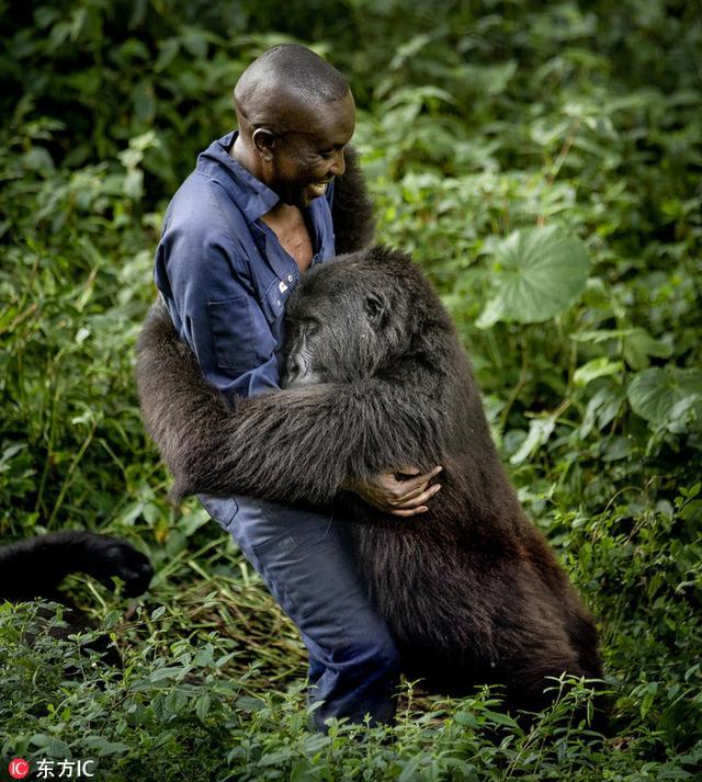 这组图片记录了刚果维龙加国家公园一只年幼的大猩猩与饲养员温馨的日常。