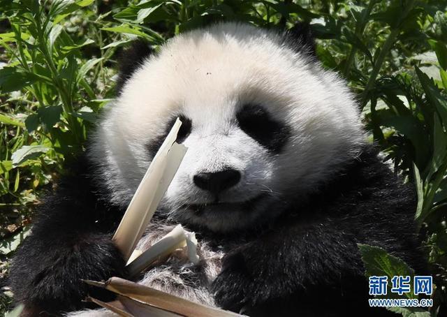 初夏,中国大熊猫保护研究中心神树坪基地被苍翠的群山环抱,2017年新生的19只熊猫宝宝在这里健康快乐地成长着。新华社记者 兰红光 摄