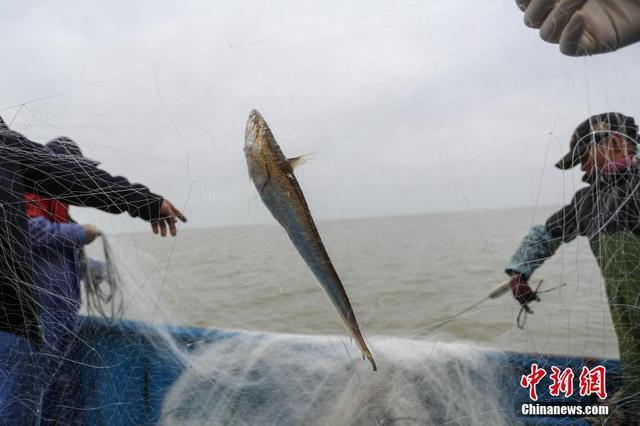 """4月16日,长江刀鱼上海段迎来一年中最后的捕捞时节。据了解,""""春潮迷雾出刀鱼"""",每年刀鱼的捕捞季从三月初开始,至4月底结束。每逢春季,素有""""长江第一鲜""""美名的刀鱼无疑是令江南一带食客难以忘怀的舌尖美味。当日,记者跟随当地渔民从崇明港口出发前往长江口,探寻刀鱼从捕捞再到送上餐桌的全过程。张亨伟 摄"""