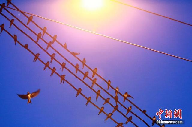 77月11日夜幕降临时,成千上万只燕子汇集到广西柳州市柳江区金竺花苑小区,在电线上栖息过夜。朱柳融 摄
