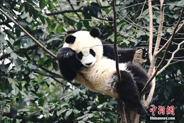 11月8日,中国国家林业和草原局副局长李春良在大熊猫保护与繁育国际大会暨2018大熊猫繁育技术委员会年会上发布了最新大熊猫数据。数据显示,截至2018年11月,全球圈养大熊猫种群数量再创新高,达到548只。图为国宝大熊猫(资料图片)。中新社记者  安源 摄