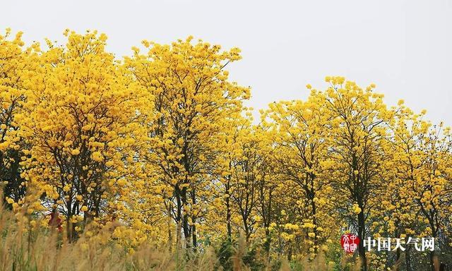 """近日,南宁天气回暖,黄花风铃木迎春绽放,黄灿灿的花朵开满枝头,吸引了许多市民和摄影爱好者前来观赏这满山尽披""""黄金甲""""的美景。 (摄影:刘英轶)"""