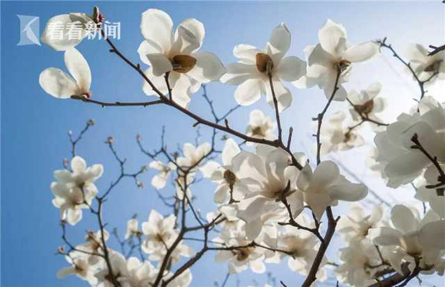 每年春天,上海的市花白玉兰总是最早耐不住寂寞,率先报春,因此它的盛开也常常被视为春天到来的标志。这两天逐渐回升的气温,催醒了申城蓄势已久的白玉兰,满树芬芳不仅传递出春天的讯息,也拉开了今春赏花的序幕。