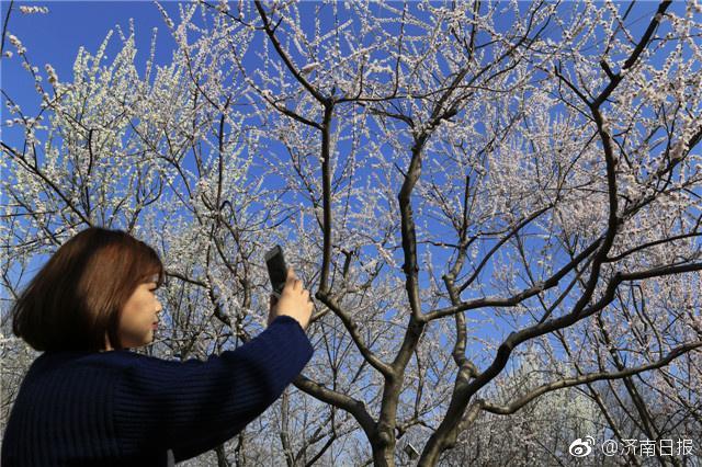 3月13日,众多有人在千佛山赏花踏青。天气转暖,春光明媚,千佛山景区内的山桃、杏花在阵阵暖风中欣然怒放,一株株盛开的花儿,如红雨,似流云,自此也拉开了千佛山最美赏花季的序幕。山桃分布于千佛山桃园内及文昌阁附近,是春花之中开放较早的,花期可持续7—10天左右;杏花则主要集中在桃园内,盛花期10余天,本周末将是观赏山桃、杏花的最佳时间。眼下,千佛山景区已进入了一年之中最美的赏花季。接下来,桃花、山茱萸、连翘、樱花、二月兰、榆叶梅、紫荆、梨花、丁香、海棠、流苏等将陆续绽放,一直持续至5月上旬,20余种各色春花你方唱罢我登场,以最美最炫的姿态扮靓这个春天。