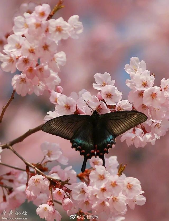 研究表明蝴蝶比开花植物早出现5000万年。   一个国际科研小组新近发表报告说,对昆虫翅膀鳞片化石的分析显示,早在开花植物即被子植物出现之前5000万年,就有了原始的蝴蝶和蛾类。   在花朵出现之前,这些昆虫吃什么呢?研究人员认为,原始昆虫为了适应当时炎热干燥的气候而进化出了虹吸式的喙,便于有效摄入液体、补充迅速流失的水分。它们起初可能靠吮吸水滴和破损叶片的渗出物生存,继而发现了原始松柏等祼子植物未成熟种子分泌的高营养液体——传粉滴。原始蝶蛾与祼子植物之间的这种关系是单方面利用,开花植物出现之后,昆虫在吸食花蜜时也起到传粉作用,双方形成互利关系,共同进化,形成了今天蝶舞花丛的情景。(据新华社)