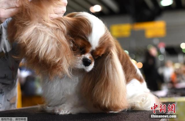 当地时间2018年2月12日,美国纽约,第142届威斯敏斯特犬展举行,狗狗拼造型比颜值。