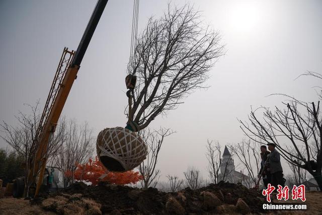 """3月13日,两株拥有超半世纪树龄的樱花树在历时15小时车程后,由湖北武汉移栽至位于北京朝阳区金盏乡楼梓庄的蓝调庄园,为即将开门迎客的蓝调樱花园做准备。据悉,此次移栽的两株樱花树胸径达30余公分,高10米,蓬径长达8米,堪称园中的""""樱花之王""""。另据了解,该园中数十种,共计500余亩的精品樱花预计将于3月底绽放,并在4月上旬迎来盛花期。中新社记者 崔楠 摄"""