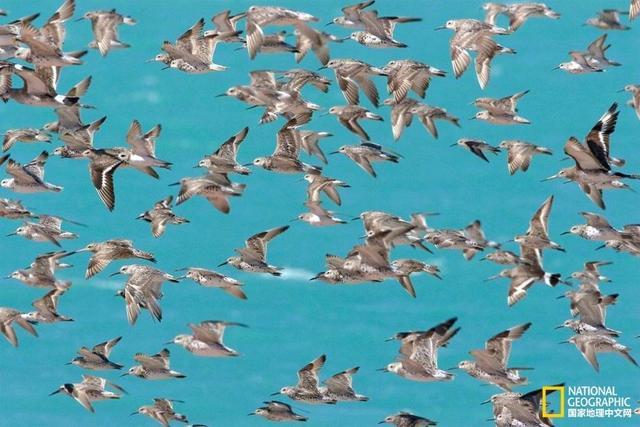 鸟儿是世界上最纯粹的旅行者,不用过海关准备护照,一场说走就走的旅行对它们不是难事儿。有些鸟儿长途跋涉只为寻找另一半;有些鸟儿高度团结在一起,在地球的某些角落制造着奇迹。那些壮观到极致的鸟群风景你会拒绝吗?不妨来了解一下地球上这些适合观鸟的圣地,很有可能就在你的身边!