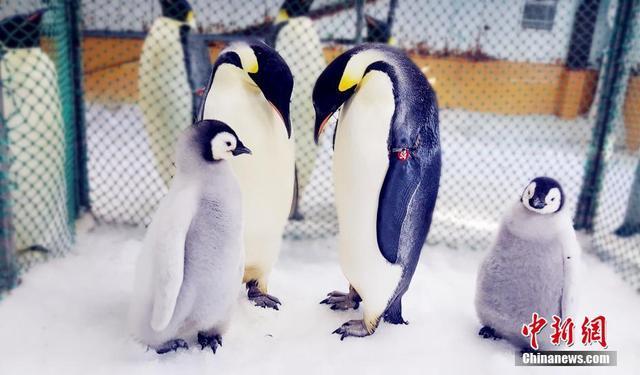 """近日,大连老虎滩海洋公园极地馆企鹅繁育中心的两只帝企鹅宝宝迎来了百天,这是继2010年成功繁育中国首只帝企鹅宝宝后,老虎滩帝企鹅家族队伍又增添两位新成员。 图为孵化期间,极地馆中山站企鹅繁育中心为帝企鹅夫妇准备了""""育儿产房""""。杨毅/文 罗阳/图"""