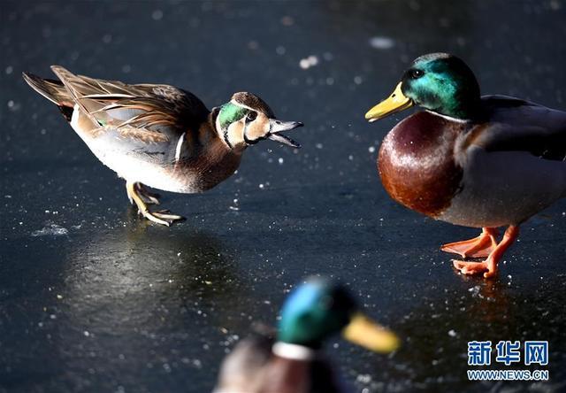 """一只花脸鸭(左)在北京北海公园湖中冰面上与一只绿头鸭嬉戏(1月9日摄)。在北京北海公园北门的湖面上,野鸭和鸳鸯们在寒风中潜水嬉戏,其中一对体型偏小的鸭子""""混迹""""其中,雄鸟脸上花纹很显眼,眼睛到颈部呈现绿色。连日来,这对北京少见的珍稀鸟类——花脸鸭,吸引不少人来观看。花脸鸭2012年被列入《世界自然保护联盟》濒危物种红色名录的低危物种名录,是过境北京的旅鸟,1月份停留北京的花脸鸭十分少见。 """"北京鸟类有400多种,近年种类更多了。""""北京市野生动物救护中心工作人员王伯君说,这得益于北京生态环境改善,公园、湿地增多,以及市民保护环境和鸟类意识提高。新华社记者罗晓光摄"""