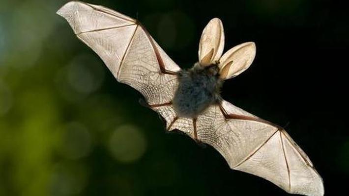 日本蝙蝠身上发现类似新冠的病毒
