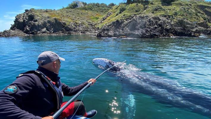 幼年灰鲸迷路地中海