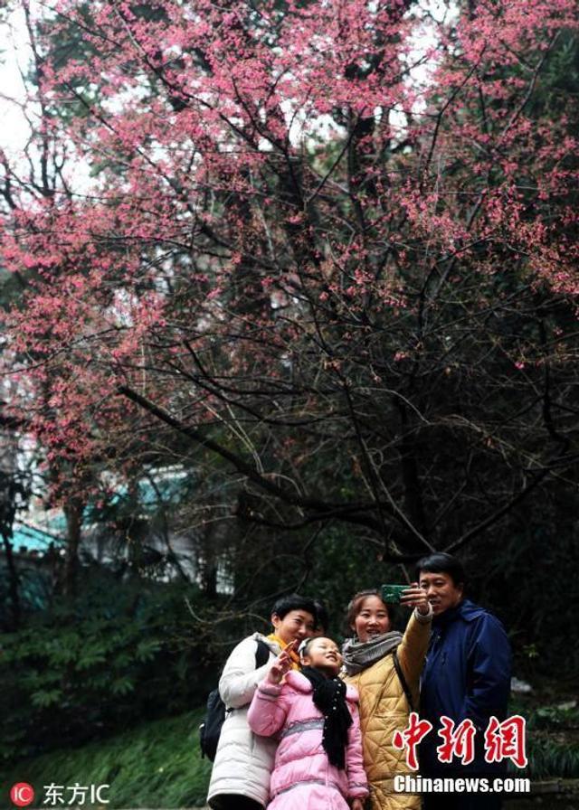 在武汉大学校医院旁的珞珈山畔,数棵早樱迎春绽放,吸引了不少市民前来观赏、拍照。武汉大学樱花大道、行政楼等处的樱花,则需等到3月才会陆续开放。